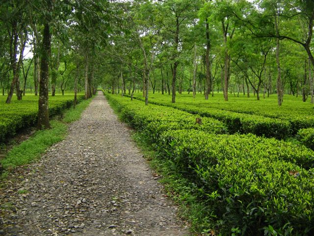 Description: assam_tea.jpg