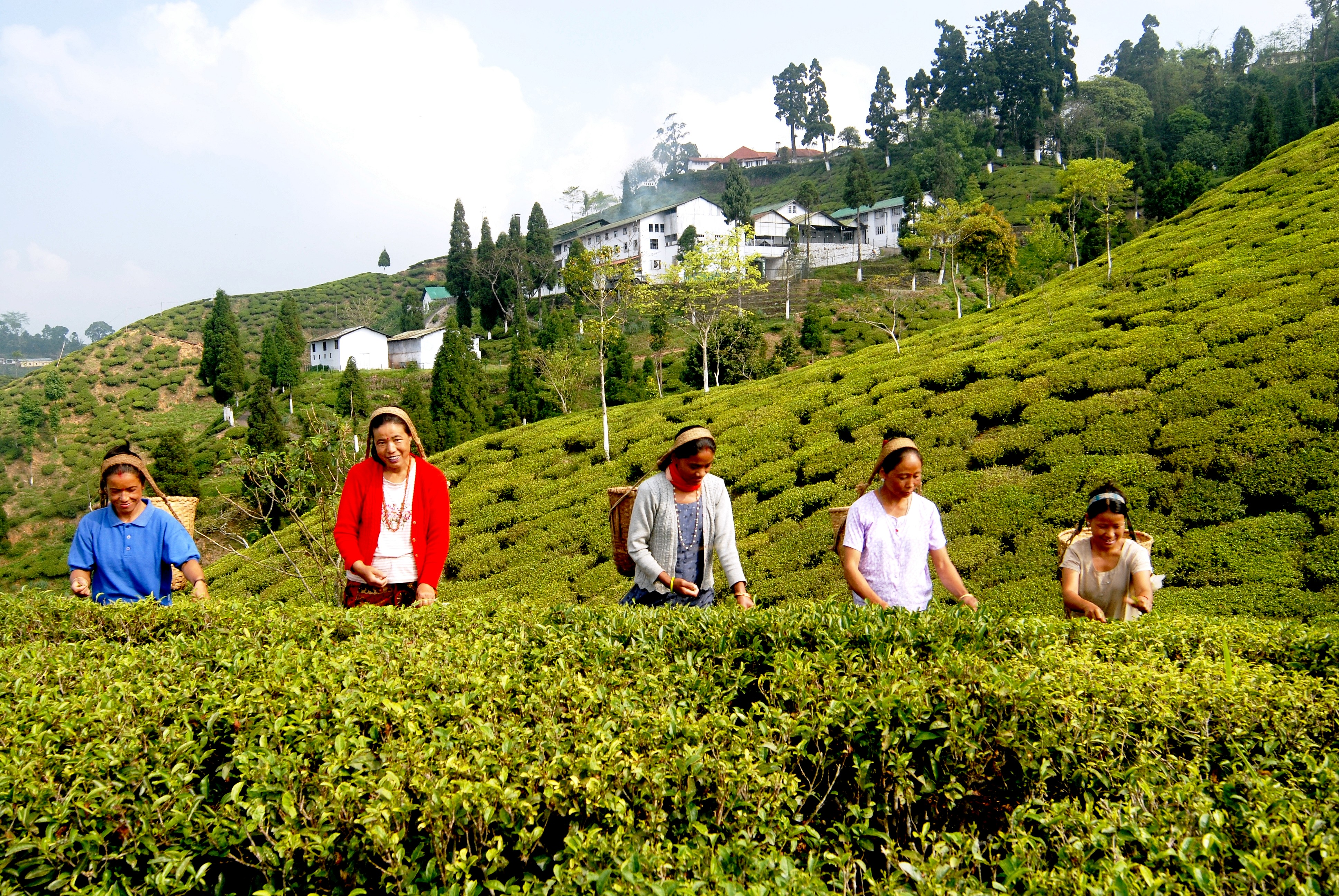 Description: darjeeling_tea.jpg