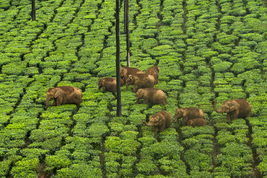 Description: munnar_tea.jpg