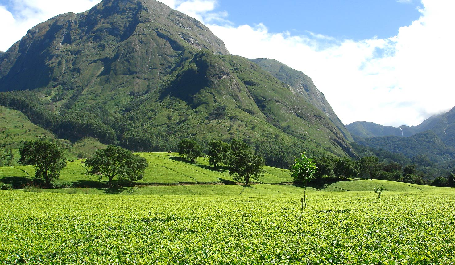 Description: nilgiri_tea.jpg
